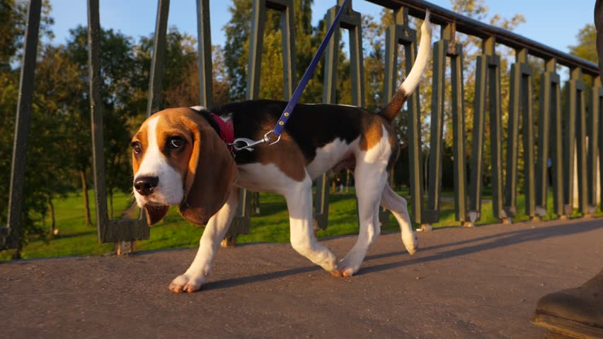 Adorable young beagle walk at bridge, sunny evening time. Slow motion tracking shot of cute juvenile dog, stroll at leash near iron banister of park footbridge, green trees on background