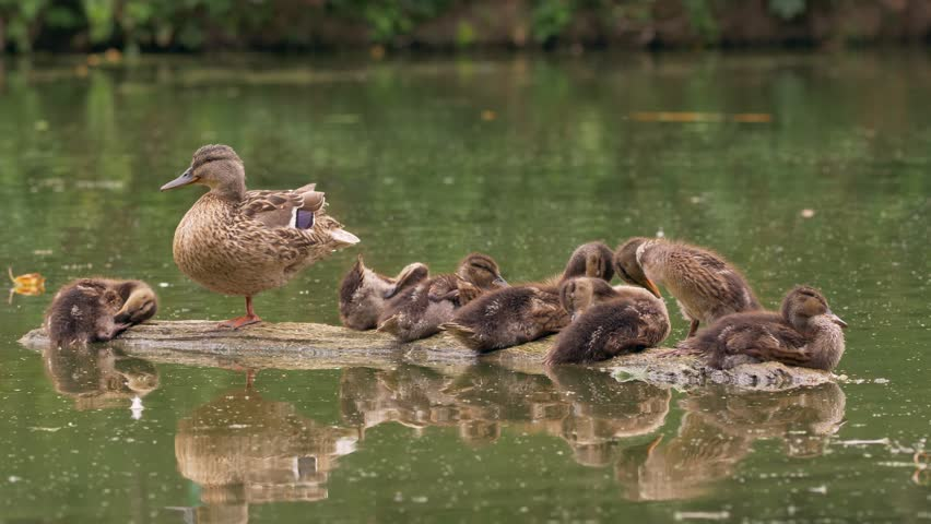 Wild duck family (Anas platyrhynchos) on floating log