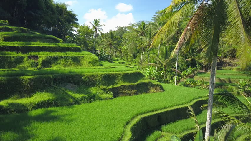 AERIAL CLOSE UP Flying close above undulating verdant rice terraces and coconut palm trees on a hill in Tegallalang, Bali, Indonesia. Amazing rice terraces on traditional rice-growing plantation field
