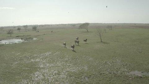 Aerial view. Venezuela plains. Llanos venezolanos. Horse, birds and trees