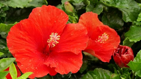 Hibiscus rosa-sinensis, Chinese hibiscus, China rose, Hawaiian hibiscus, is a species of tropical hibiscus, a flowering plant in the Hibisceae tribe of the family Malvaceae, native to East Asia