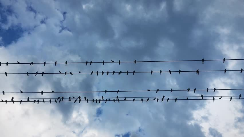 A flock of swallow birds resting on the wires about to take off. Low angle view of swallows taking off against blue skies.