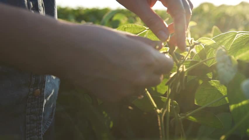 Green leaves of soy bean in hand. Slow motion   Shutterstock HD Video #30066967