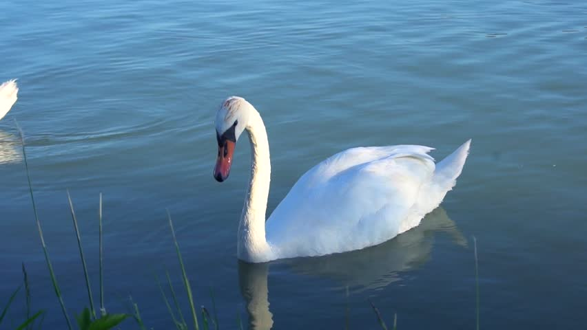 Beautiful white swan with red beak swimming in lake. Wild animal eats grass and drinks clean water. Concept of clean rivers and save places for animals.