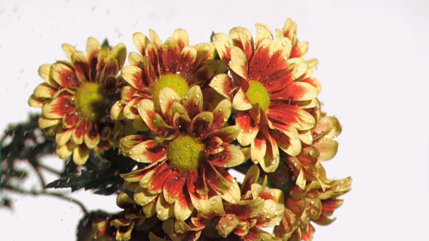 Yellow and brown flowers in super slow motion being watered against a white background