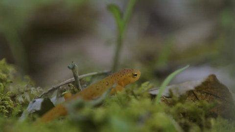 Red spotted newt crawling on the forest floor.