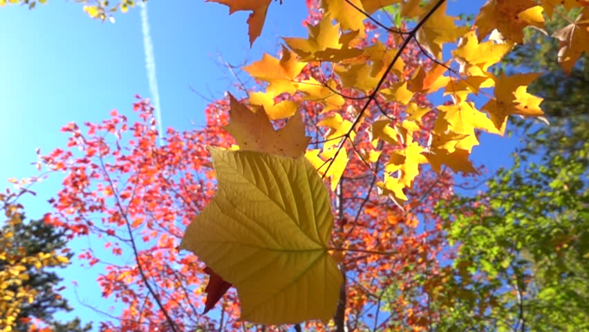 SLOW MOTION CLOSE UP: Yellow fall foliage falling off in autumn forest on sunny day. Yellow maple leaf falling slowly towards the ground in sunny fall. Colorful autumn trees shedding their old leaves