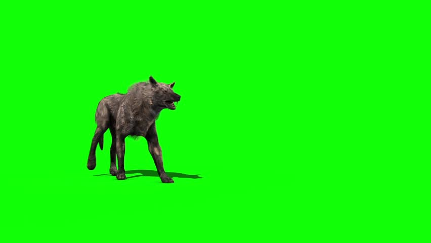 Wolf Walks Green Screen 3D Rendering Animation #30246247