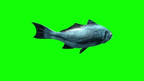 Fish Swim Green Screen Back 3D Rendering Animation