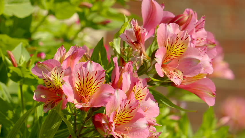Header of Alstroemeria