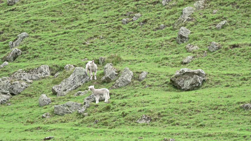 Cute baby lambs jumping, running on the hill | Shutterstock HD Video #30407287