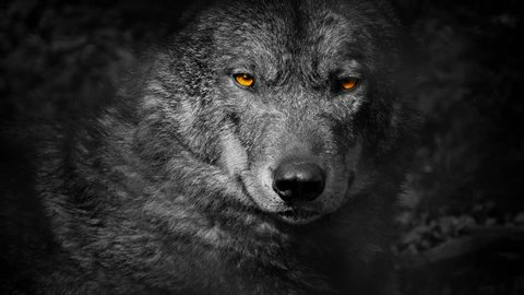 Wolf Growls With Fiery Eyes Abstract