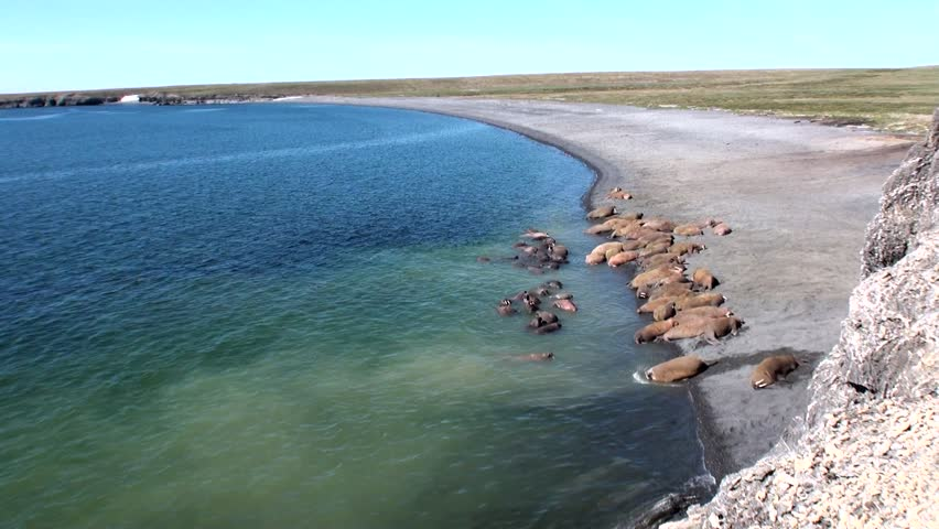 Aerial view horseshoe bay port elliot near victor harbor harbour group of walruses rest on shores of arctic ocean on new earth in russia unique voltagebd Images