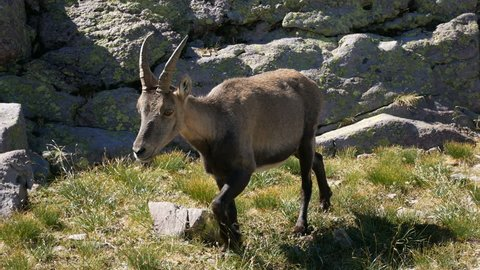 Alpine ibex walks on the rocks on the Bergamo Alps, northern Italy