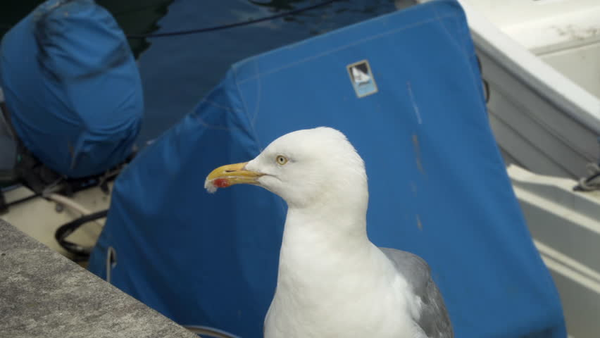 Seagull in close up Stock Footage. A Seagull
