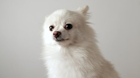 Pomeranian dog getting angry and barking