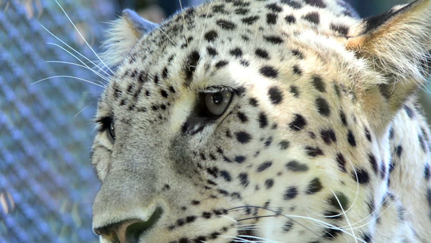 Snow leopard eyes close up
