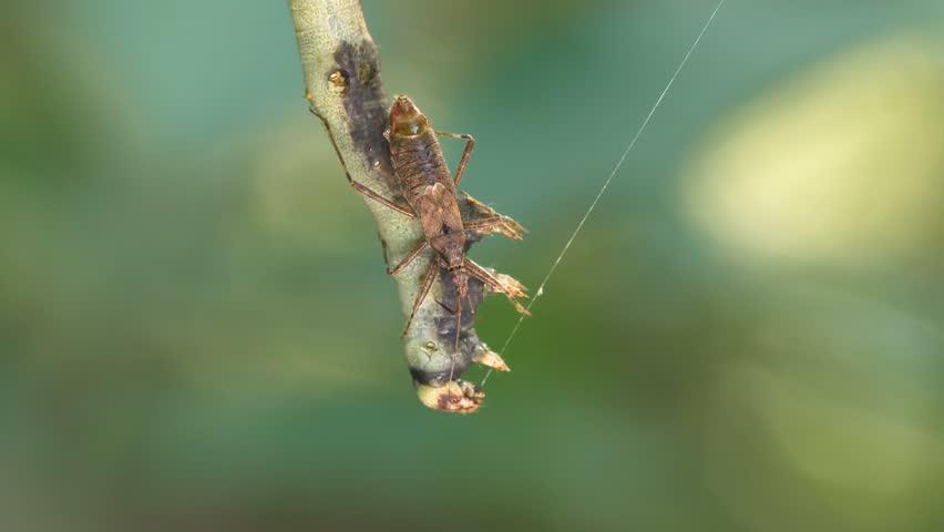 Assassin bug (Heteroptera) sucking out a caterpillar
