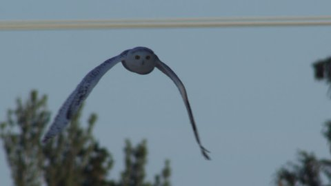 MS PAN TU TD SLO MO Snowy owl (Bubo scandiacus) flying over field