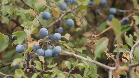 Slow motion of Prunus spinosa blue berries 1080p FullHD footage - Blackthorn sloe shrub natural food slow-mo 1920X1080 HD video