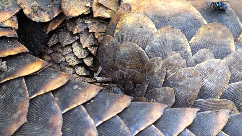 Detail of a scales of pangolin