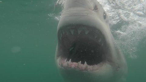 Great white shark under water opens mouth trying to feed showing all teeth