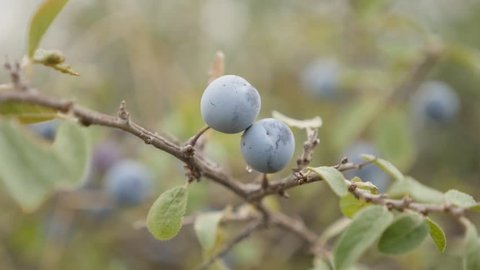 Shallow DOF blackthorn sloe shrub slow-mo 1080p FullHD footage - Slow motion of Prunus spinosa berries 1920X1080 HD video