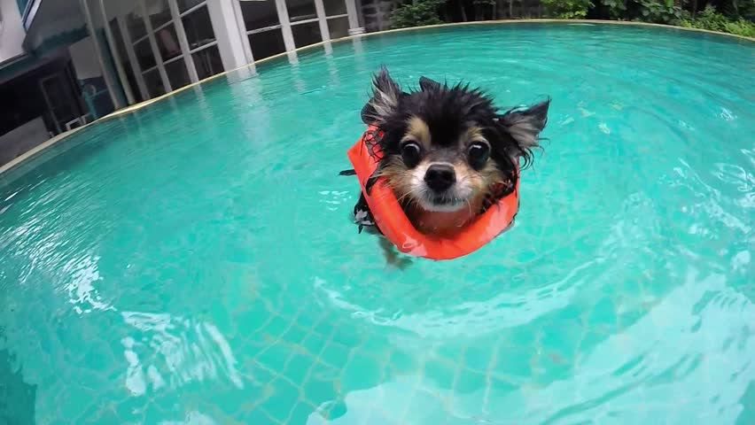 Cute Small Dog In Swimming Pool In Summer. Slow Motion. 4K.