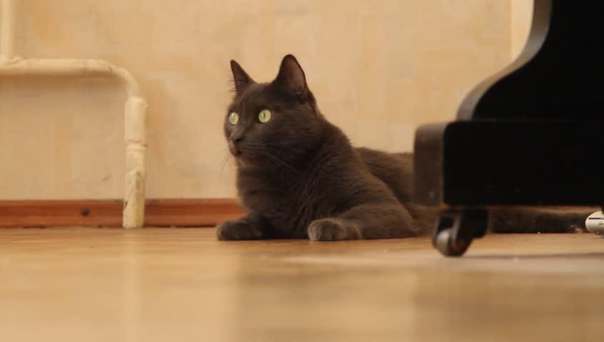 A cute russian blue cat on a floor.