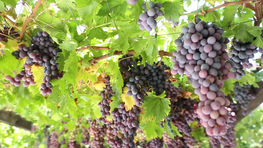 Red grapes on trellis dolly shot | Shutterstock HD Video #30764617