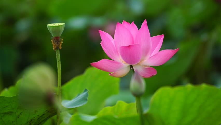 Close Up Lotus Flower Stock Footage Video 100 Royalty Free