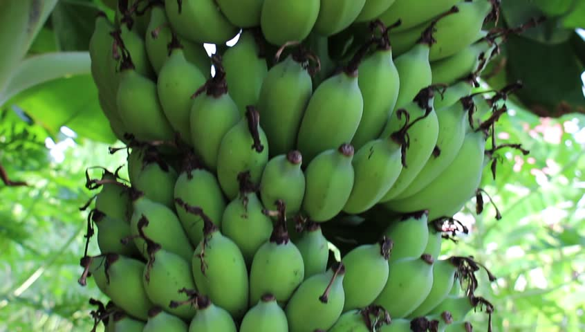 Close up of a large bunch of green bananas growing on a tree on a banana farm