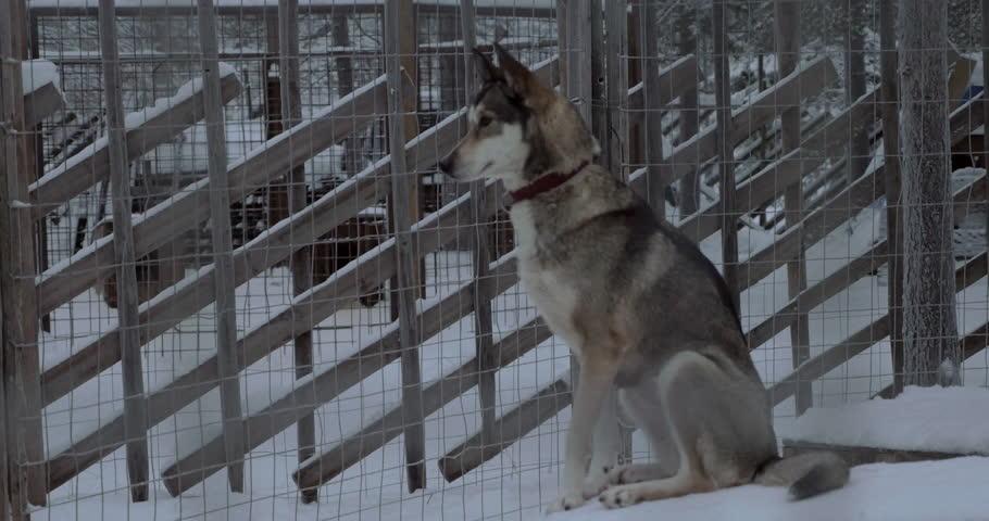 Header of sledge dog