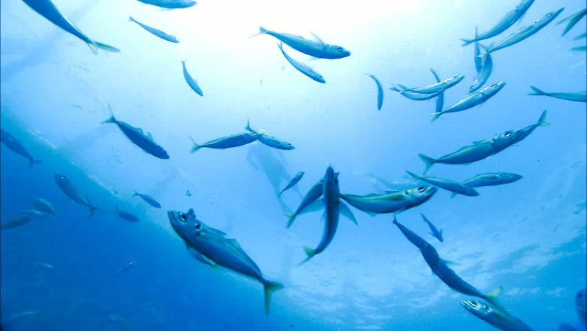 Schools of fish with romantic Couple Swimming and Scuba Diving / snorkeling on vacation under water with bluefin tuna farm in tuna nets (tuna rings) in deep blue ocean areas.   | Shutterstock HD Video #30925357