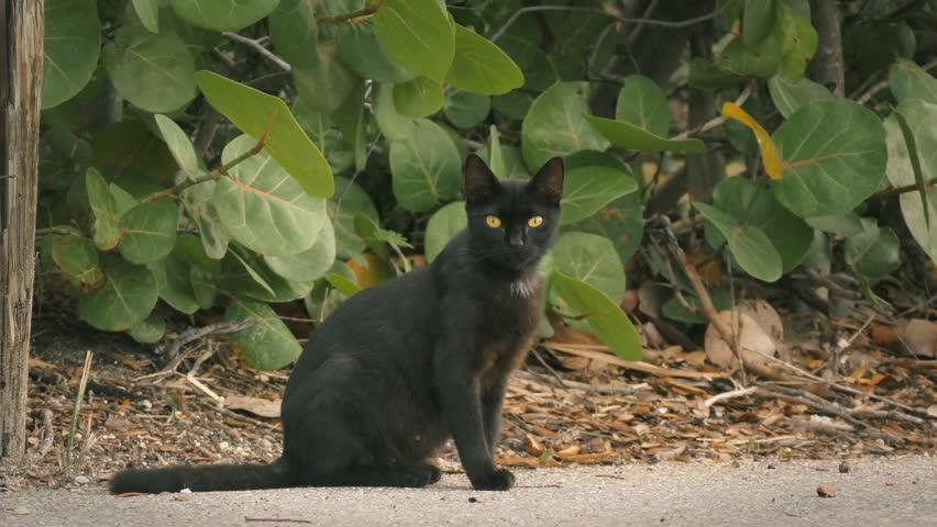 Stray black cat staring at camera loop