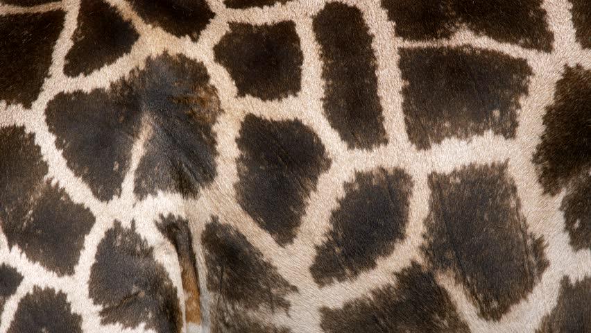 Rothschild's giraffe (Giraffa camelopardalis rothschildi) | Shutterstock HD Video #30940507