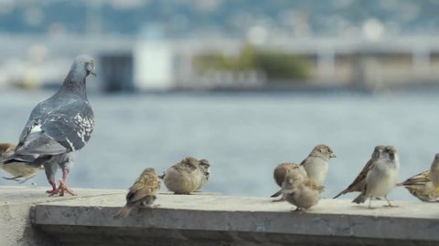 Flock of sparrow and pigeon standing on a granite fence of the river in Geneva in cold winter. Slow motion