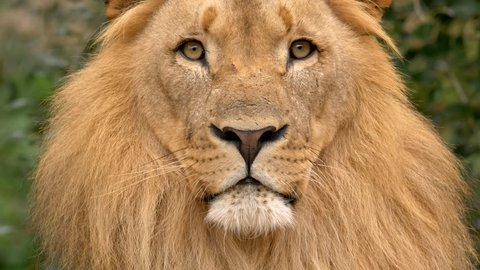 Southwest African lion's portrait