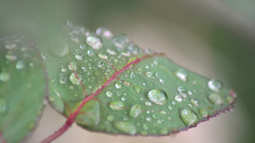 Rose in a rainy day at Temple City, Los Angeles, California, U.S.A. | Shutterstock HD Video #30987811