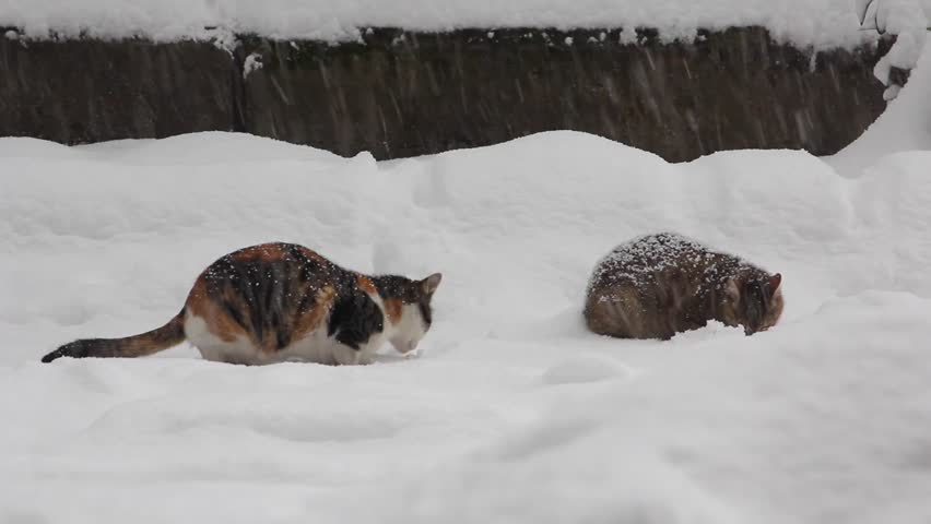 Cats are Eating at the Snow