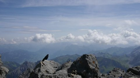 Alpine chough at the summit