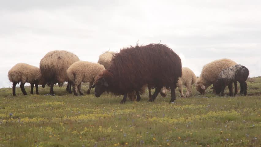 Header of sheepman