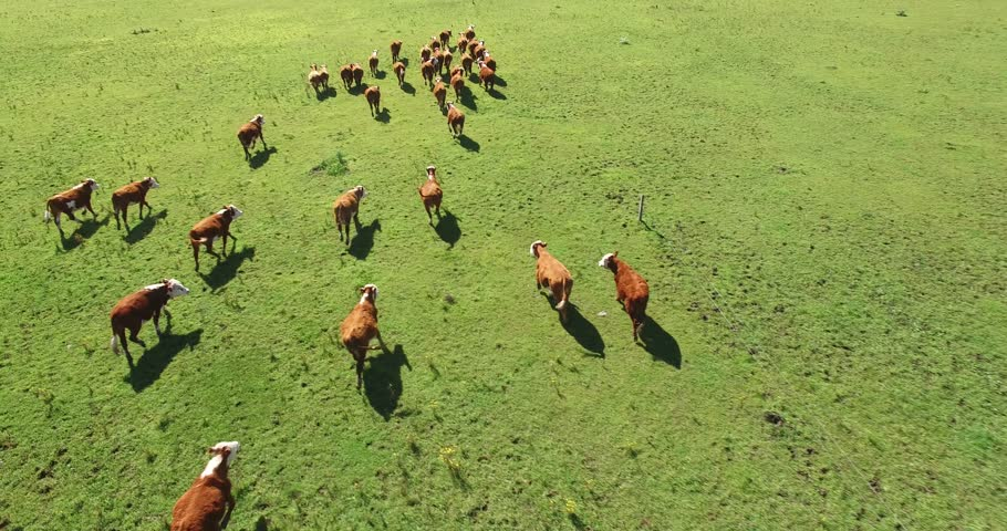 Cows herding and running on green field in spring. At Argentina, Latina America.  4K Aerial Drone Flying