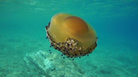 A fried egg jellyfish, Cotylorhiza tuberculata underwater in the Mediterranean sea, Catalonia, Costa Brava, Cap de Creus, Spain, 60fps