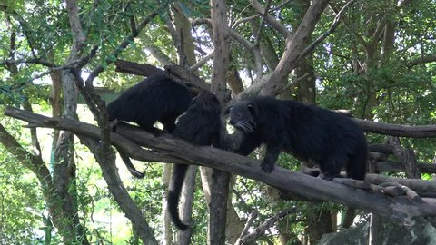 Bear cat or Binturong climb on branch in public zoo,Thailand.