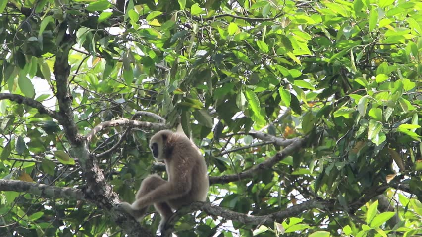 Gibbons classified in the phylum chordate. Floor mammal primate (Primates) is the ape.  | Shutterstock HD Video #31219987
