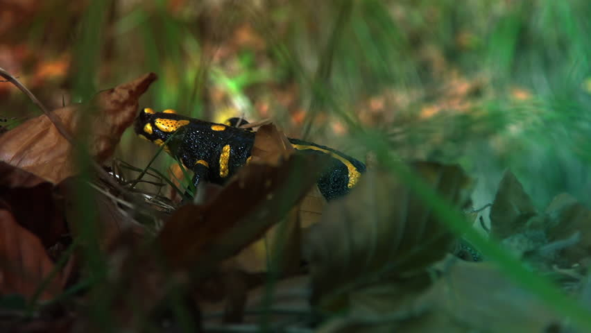 Yellow spotted salamander in the wild forest, real time, color grading