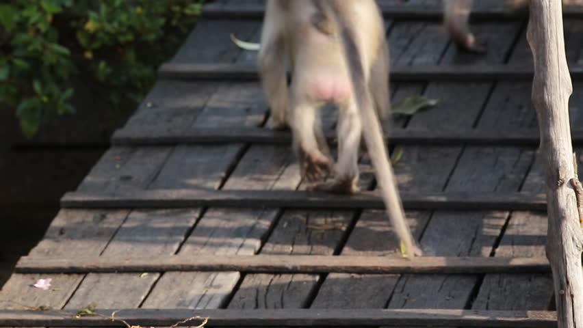 Pair Proboscis Monkeys mating sex