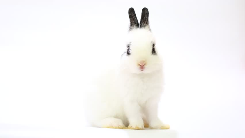 Adorable white baby ND rabbit, 1 month old cute young Netherlands dwarf bunny on white background.  Black ears, black circle eyes and white fur