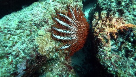 Crown of thorns starfish eating coral, Pulau Weh, Aceh